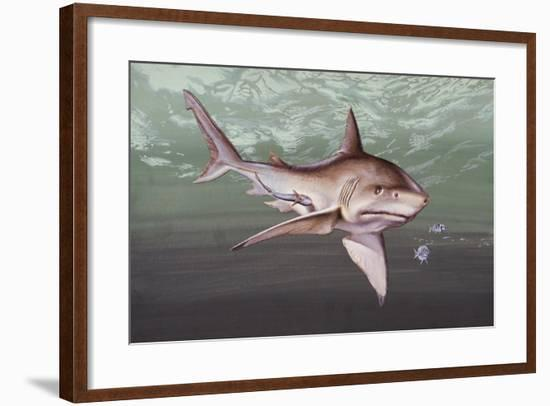 Great White Shark (Carcharodon Carcharias), Lamnidae--Framed Giclee Print