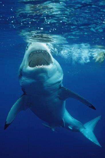 Great White Shark, Carcharodon Carcharias, Mexico, Pacific Ocean, Guadalupe-Reinhard Dirscherl-Photographic Print
