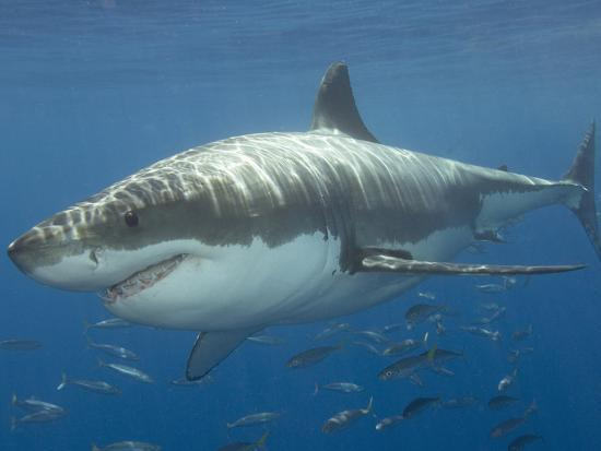 Great White Shark (Carcharodon Carcharias), Pacific Ocean-Andy Murch-Photographic Print
