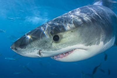 Great White Shark (Carcharodon Carcharias) Portrait, Guadalupe Island, Mexico. Pacific Ocean-Alex Mustard-Photographic Print