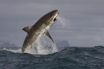 Great White Shark (Carcharodon Carcharias)-David Jenkins-Photographic Print