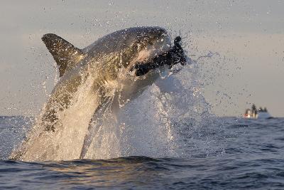 Great White Shark (Carcharodon Carcharias)-David Jenkins-Photographic Print