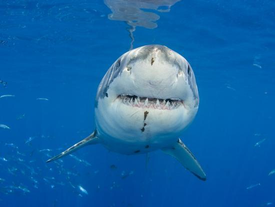 Great White Shark Head and Teeth (Carcharodon Carcharias), Guadalupe Island, Mexico-David Fleetham-Photographic Print