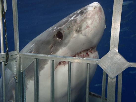 Great White Shark Investigating a Shark Cage (Carcharodon Carcharias), Guadalupe Island, Mexico-David Fleetham-Photographic Print