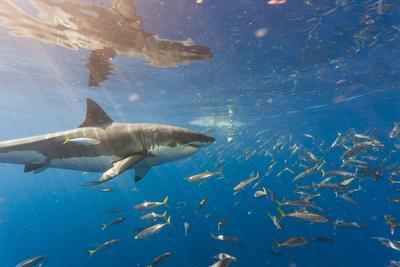 https://imgc.artprintimages.com/img/print/great-white-shark-large-5-meter-female-and-schooling-rainbow-runners-guadalupe-island-marine-bio_u-l-q1dhfou0.jpg?p=0