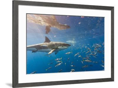 Great White Shark, Large 5 meter female, and schooling Rainbow Runners Guadalupe Island, Marine Bio-Stuart Westmorland-Framed Photographic Print