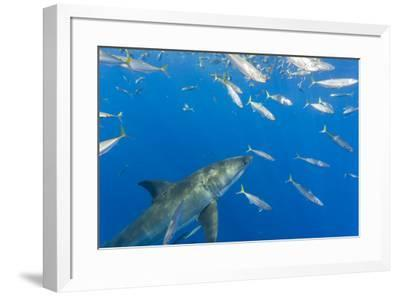 Great White Shark, large 5 meter female and schooling Rainbow Runners Guadalupe Island, Marine Bios-Stuart Westmorland-Framed Photographic Print