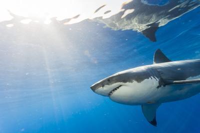https://imgc.artprintimages.com/img/print/great-white-shark-large-5-meter-female-guadalupe-island-marine-preserve-baja-california-mexico_u-l-q1dhho80.jpg?p=0