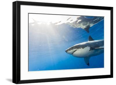 Great White Shark, Large 5 meter female, Guadalupe Island, Marine Preserve, Baja California, Mexico-Stuart Westmorland-Framed Photographic Print