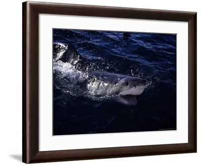 Great White Shark, Surfacing, South Australia-Gerard Soury-Framed Photographic Print