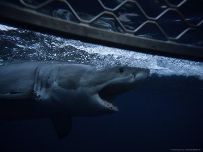 Great White Shark, Swimming by Cage, S. Australia-Gerard Soury-Photographic Print