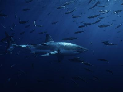 Great White Shark, Swimming, Pacific-Gerard Soury-Photographic Print
