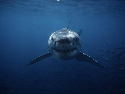 Great White Shark Swimming South Australia Photographic Print By Gerard Soury