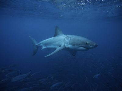 Great White Shark, Swimming, South Australia-Gerard Soury-Photographic Print