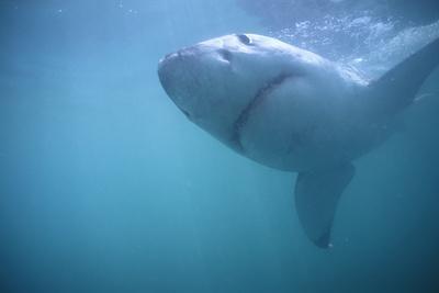 https://imgc.artprintimages.com/img/print/great-white-shark-swimming_u-l-pzr3ud0.jpg?p=0