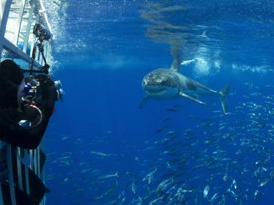 Great White Shark Swims Close to Divers in a Cage-Mauricio Handler-Photographic Print
