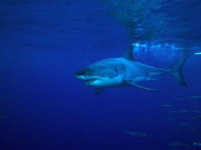 Great White Shark Swims in Clear Water Off Guadalupe Island-Mauricio Handler-Photographic Print