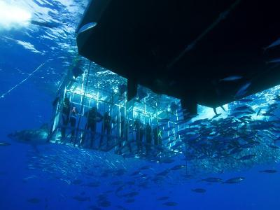 Great White Shark Swims Near Underwater Photographers in a Cage-Mauricio Handler-Photographic Print