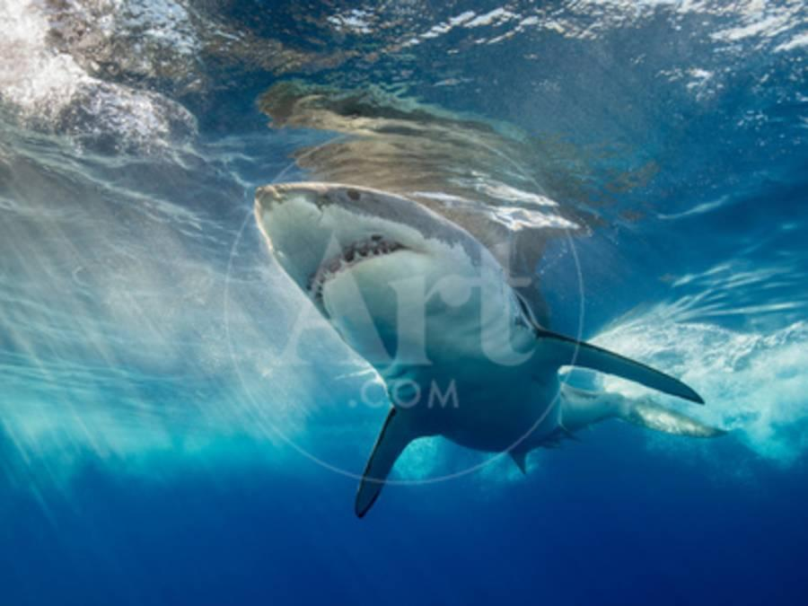 92a658c027cd Great White Shark Underwater at Guadalupe Island