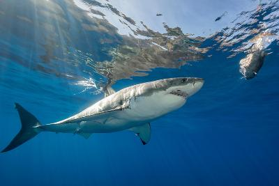 Great White Shark Underwater at Guadalupe Island, Mexico-Wildestanimal-Photographic Print