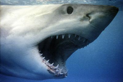 Great White Shark with Mouth Wide Open--Photographic Print