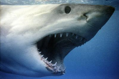 https://imgc.artprintimages.com/img/print/great-white-shark-with-mouth-wide-open_u-l-q106e4c0.jpg?p=0