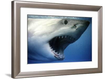 Great White Shark with Mouth Wide Open--Framed Photographic Print