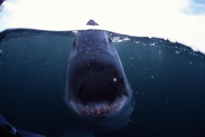 Great White Shark-Alexis Rosenfeld-Photographic Print