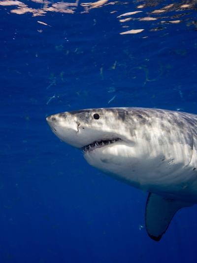 Great White Shark-Stephen Frink-Photographic Print