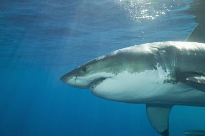 Great White Shark-DLILLC-Photographic Print