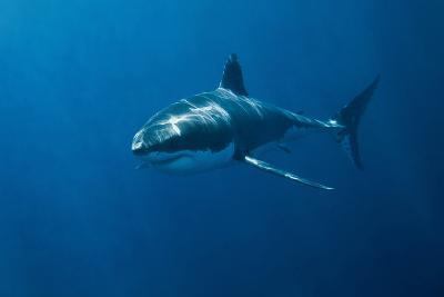 Great White Shark-John White Photos-Photographic Print