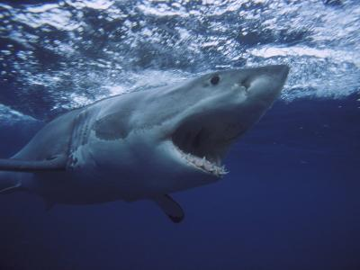 Great White Shark-Gerard Soury-Photographic Print
