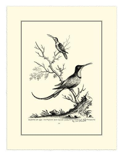 Greater and Lesser Hummingbird, c.1742-George Edwards-Giclee Print