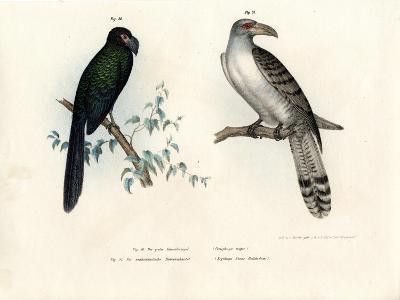 Greater Ani, 1864--Giclee Print