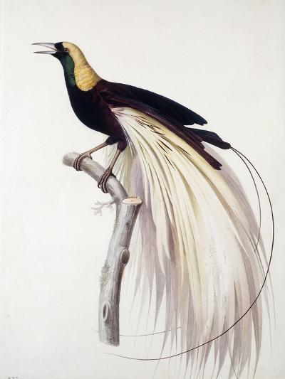 Greater Bird of Paradise, Male-Jacques Barraband-Giclee Print