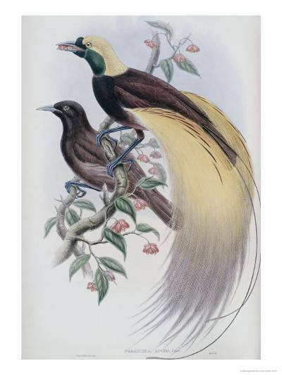 Greater Bird of Paradise-John Gould-Premium Giclee Print