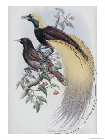 https://imgc.artprintimages.com/img/print/greater-bird-of-paradise_u-l-p3bua40.jpg?p=0