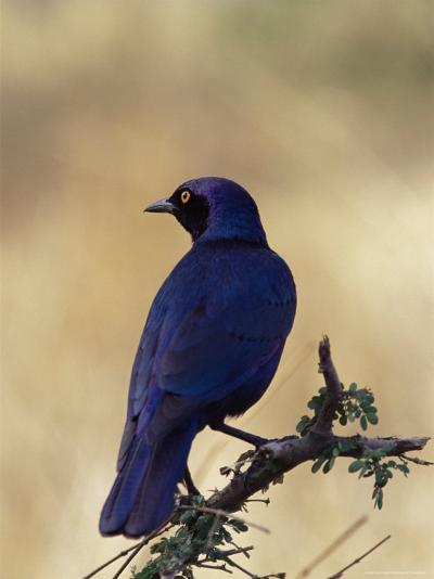 Greater Blue-Eared Glossy Starling, Kruger National Park, South Africa, Africa-James Hager-Photographic Print