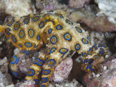 Greater Blue-Ringed Octopus (Hapalochlaena Lunulata) a Small But Highly Venomous Species-Christopher Crowley-Photographic Print