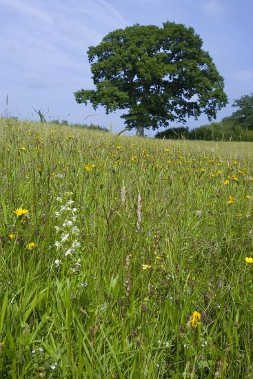 Greater Butterfly Orchid (Platanthera Chlorantha) Flowering on Hay Meadow on Set-Aside Field in Rur--Photographic Print