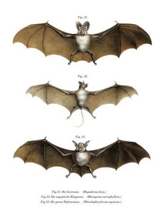 Greater False Vampire Bat, 1860