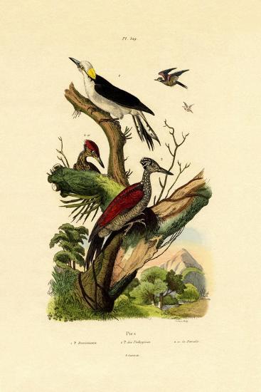Greater Flameback, 1833-39--Giclee Print