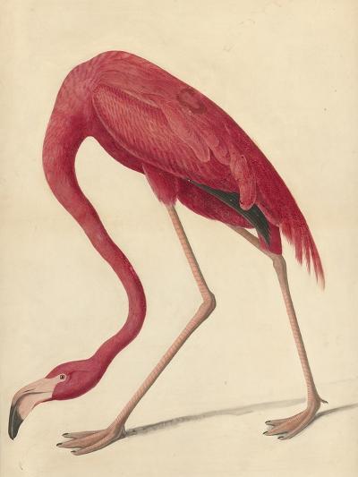 Greater Flamingo, 1838-John James Audubon-Giclee Print