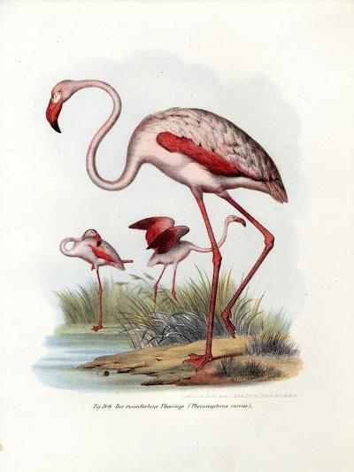Greater Flamingo, 1864--Giclee Print