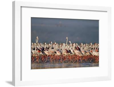 Greater Flamingo and Lesser Flamingo flock in a mass courtship dance, Lake Nakuru, Kenya-Tim Fitzharris-Framed Art Print