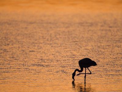 Greater Flamingo, at Dusk, Walvis Bay Lagoon, Namibia, Africa-Ann & Steve Toon-Photographic Print