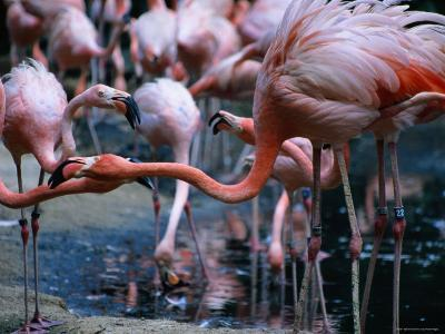 Greater Flamingo at the Singapore Zoological Gardens, Singapore-Glenn Beanland-Photographic Print