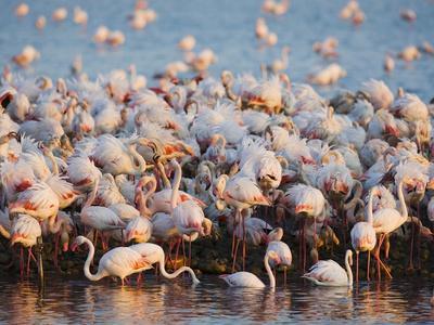 Greater flamingo colony in lagoon-Theo Allofs-Photographic Print