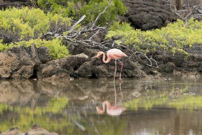 Greater Flamingo in Lagoon, Santa Cruz Island, Galapagos, Ecuador-Cindy Miller Hopkins-Photographic Print