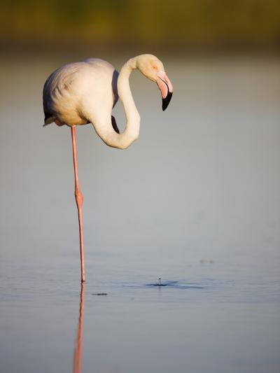 Greater flamingo in lagoon-Theo Allofs-Photographic Print